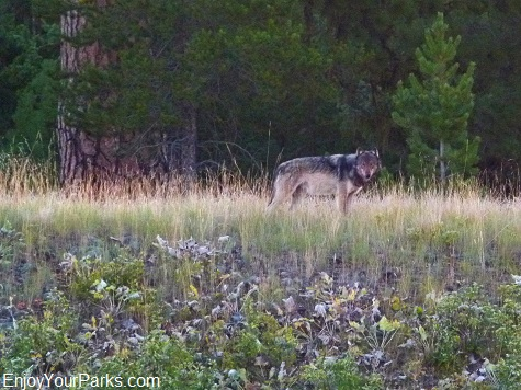 Gray Wolf, North Fork - Polebridge Area, Glacier National Park
