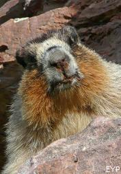 Marmot, Swiftcurrent Pass Trail, Glacier National Park