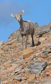 Bighorn Lamb, Two Medicine Area, Glacier National Park