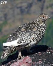Ptarmigan, Two Medicine Area, Glacier National Park