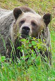 Grizzly Bear, Many Glacier Area, Glacier National Park