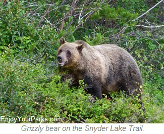 Grizzly bear on Snyder Lake Trail, Glacier National Park