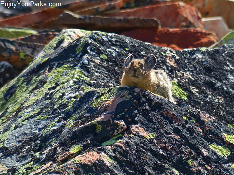 Pika along the Bear Mountain Trail, Glacier National Park