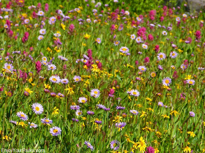 Fifty Mountain wildflowers, Glacier Park