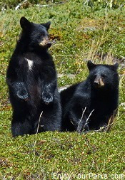 Montana black bear cubs