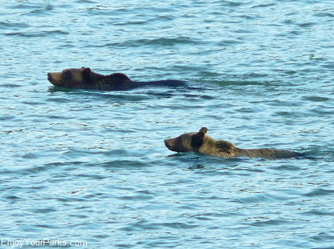 Grizzly bears swimming across Lake Sherburne, Many Glacier Area, Glacier National Park