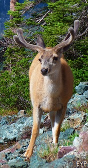 Mule deer, Swiftcurrent Pass Trail, Glacier National Park