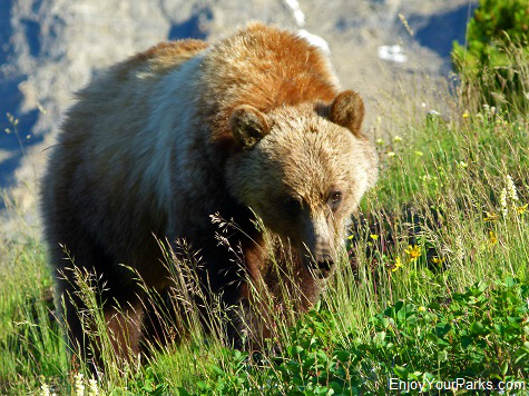 Grizzly Bear, Glacier National Park Montana.