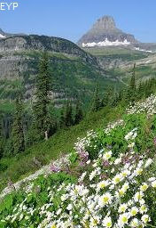 Wildflowers, Going To The Sun Road, Glacier National Park