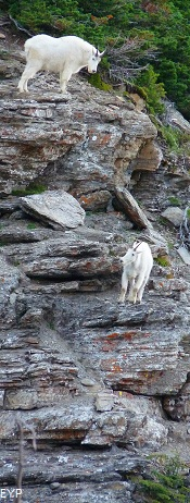Mountain Goats, Going To The Sun Road, Glacier National Park