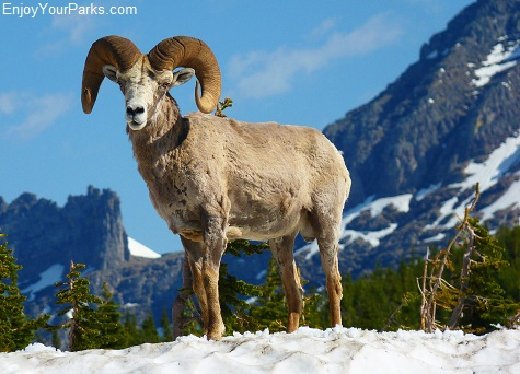 Bighorn Sheep, Going To The Sun Road, Glacier National Park