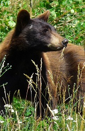 Black bear, North Fork - Polebridge Area, Glacier National Park