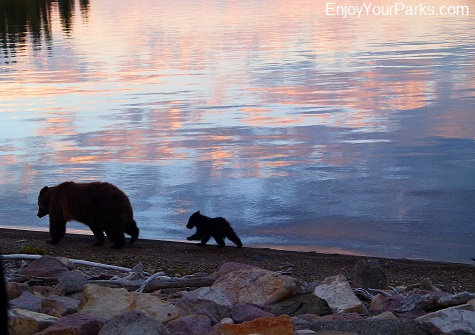 Grizzly bear sow and cub, Yellowstone Lake, Yellowstone National Park