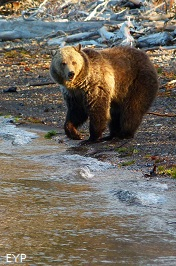 Grizzly bear, Yellowstone Lake, Yellowstone National Park