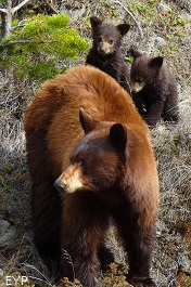 Black bear, Madison Junction Area, Yellowstone National Park