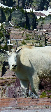 Mountain Goat, Glacier National Park