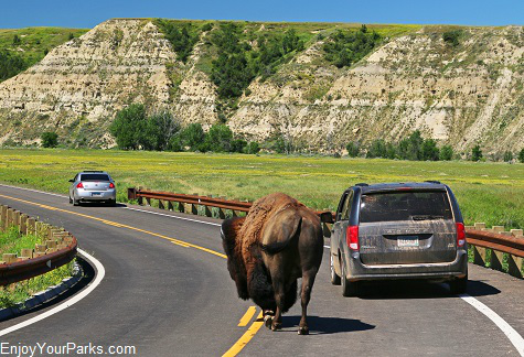 Buffalo, South Unit, Theordore Roosevelt National Park, North Dakota