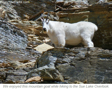 Mountain Goat at Sue Lake Overlook, Glacier Park