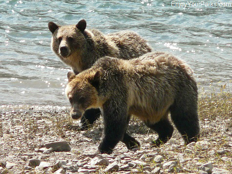 Grizzly bears on Lake Sherburne, Many Glacier Area, Glacier National Park