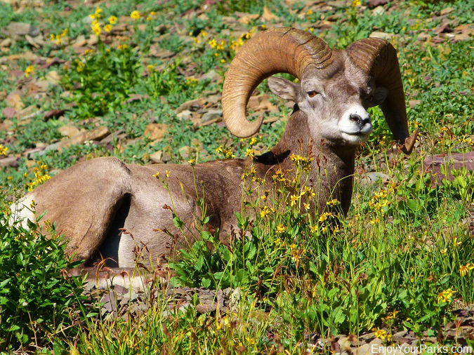 Bighorn sheep along the Tamarack Trail, Waterton Lakes National Park