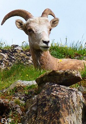 Bighorn sheep ewe, Two Medicine Area, Glacier National Park