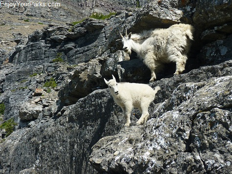 Mountain Goats, Logan Pass, Going To The Sun Road, Glacier National Park.