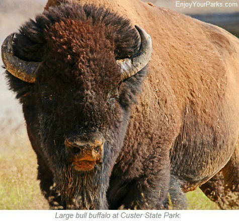 Buffalo, Custer State Park, South Dakota