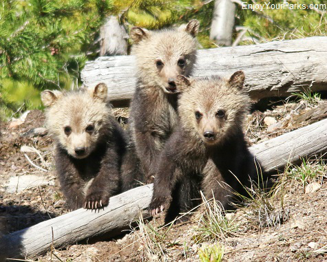 Grizzly bear triplets, Yellowstone National Park