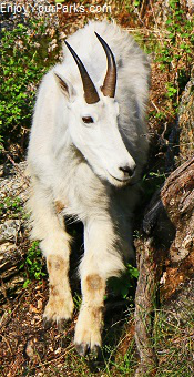 Mountain Goat, Black Hills of South Dakota