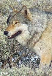 Wyoming Grey Wolf
