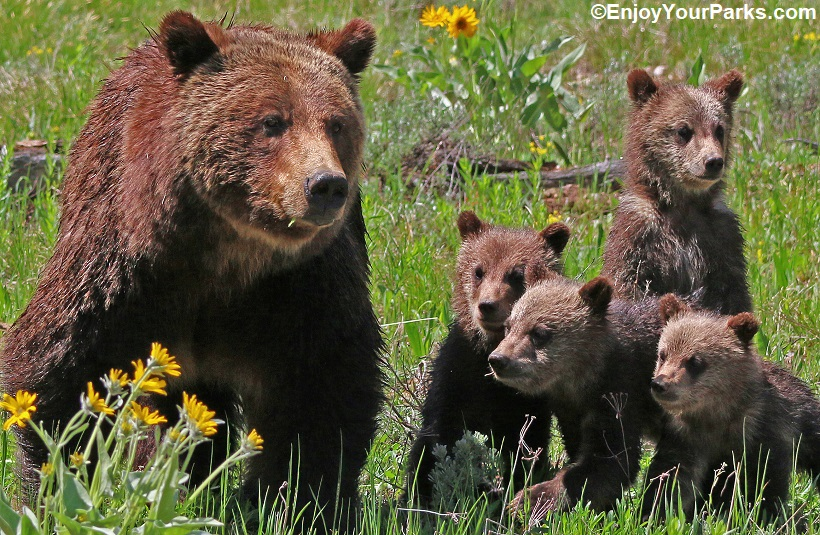 Grizzly 399 with triplets, Grand Teton National Park