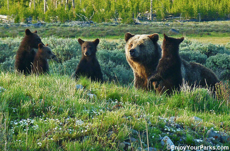 Grizzly with quadruplet cubs, Yellowstone National Park