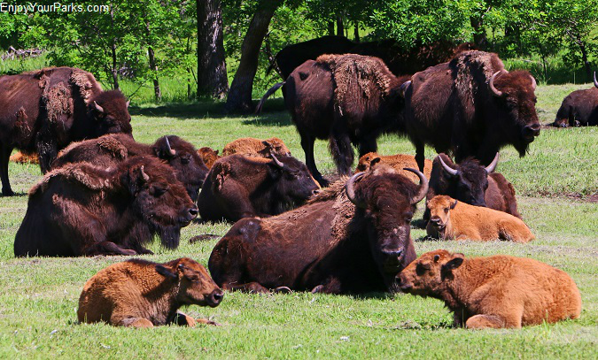 Buffalo herd, Custer State Park, South Dakota