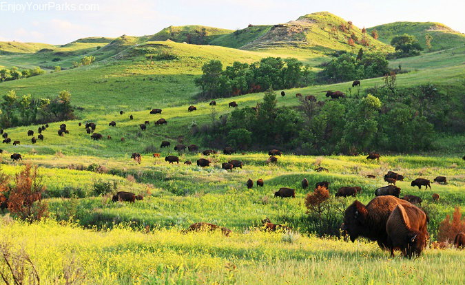Buffalo herd, Theodore Roosevelt National Park, North Dakota