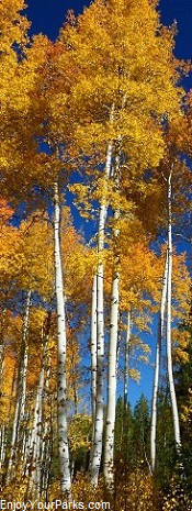 Wyoming Aspens in Autumn
