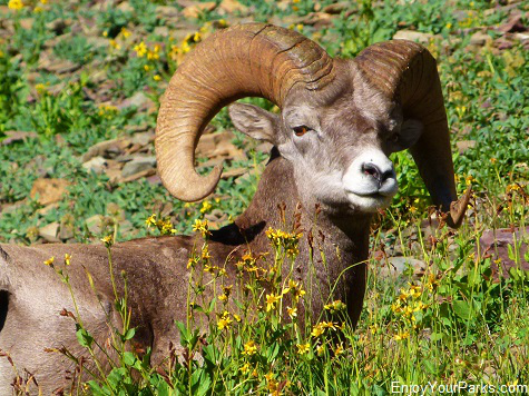 Bighorn sheep, Akamina Parkway, Waterton Lakes National Park