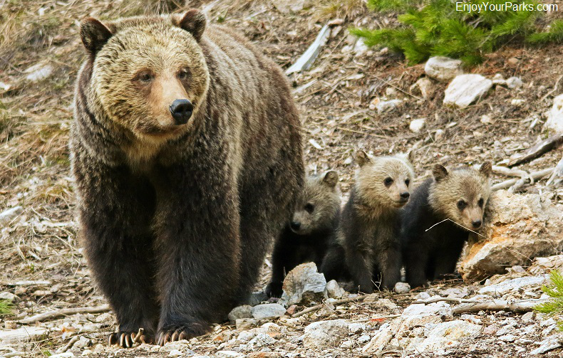 Grizzly bear sow and triplet cubs, Yellowstone National Park