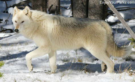 White wolf, Yellowstone National Park, Wyoming