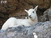 Mountain Goat, Highline Trail, Glacier National Park