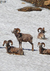 Bighorn Sheep, Highline Trail, Glacier National Park