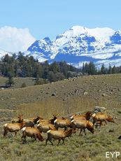 Elk herd, Lamar Valley, Yellowstone National Park