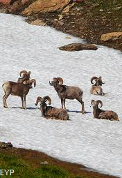 Bighorn Sheep, Hidden Lake Trail, Glacier National Park