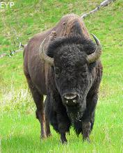 Buffalo, Madison Junction Area, Yellowstone National Park