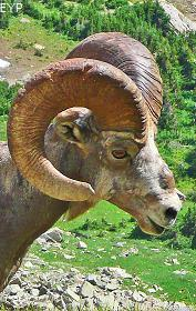 Bighorn Sheep, Hidden Lake Overlook, Glacier National Park