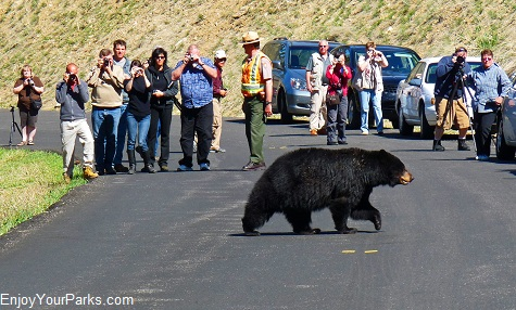 Black bear, Tower / Roosevelt Area, Yellowstone National Park