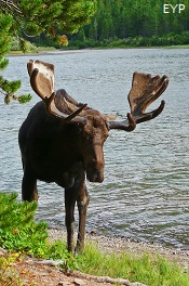 Bull Moose, Swiftcurrent Pass Trail, Glacier National Park