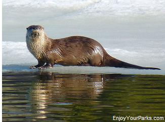 River otter, Yellowstone Lake Area, Yellowstone National Park