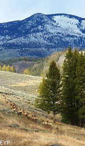 Elk herd, Tower / Roosevelt Area, Yellowstone National Park