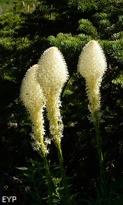 Beargrass, Iceberg Lake Trail, Glacier National Park