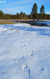 Wolf tracks, Norris Junction Area, Yellowstone National Park